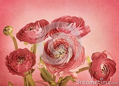Rose Ranunculus