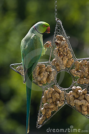 Rose-ringed parakeet eating peanuts