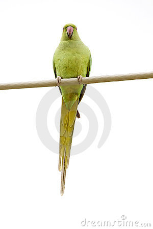 Rose-Ringed Parakeet On The Wire