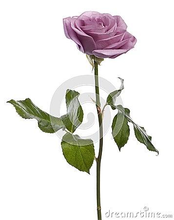 Rose, Rosa aqua