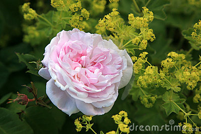 Rose rose et alchemille.