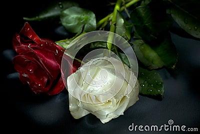 Trendafila - Faqe 2 Rose-rosse-e-bianche-thumb3355871