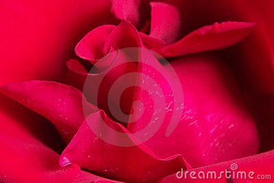 Rose rouge rouge