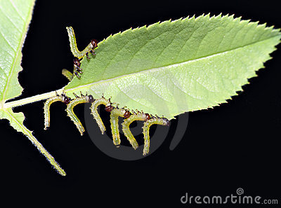 Rose sawfly larva - garden pest