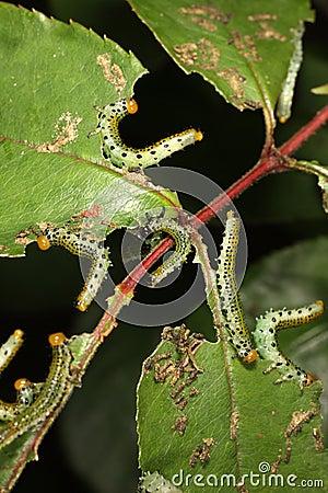 Free Rose Sawfly Larvae Stock Photography - 7850342