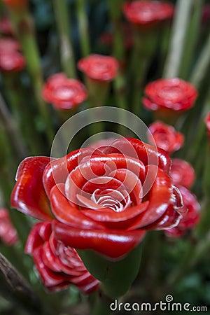 Rose of Siam