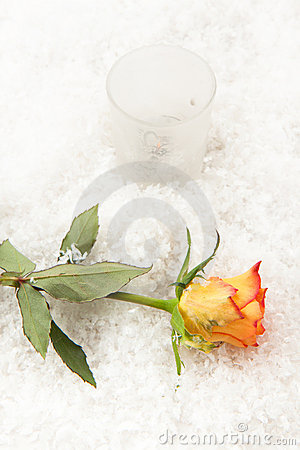 Rose on the snow