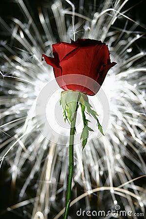 Free Rose Sparkle Stock Photo - 548320