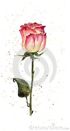The Rose. Splashes on a white background. Watercolor Stock Photo