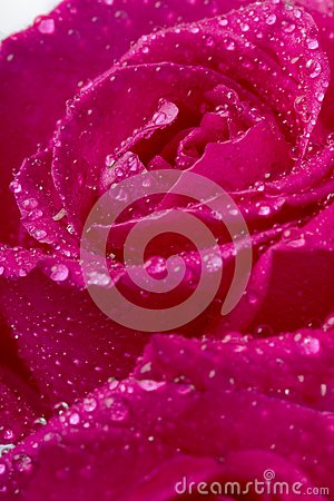Rose in the splashing water