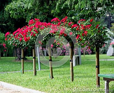 Rose on the stalk