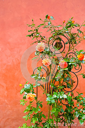 Rose su una parete