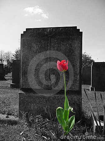 Rose sur ma tombe