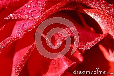 Rose szczegółowości mokra