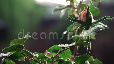 Rose about to bloom in the rain. A rose about to bloom with the help of a spring rain stock footage