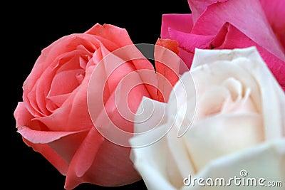 Rose Trio On Black