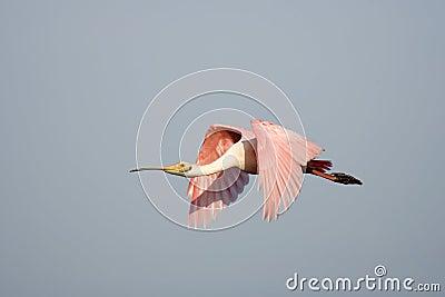 A Roseate Spoonbill in flight
