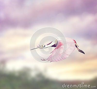 Free Roseate Spoonbill (Platalea Ajaja) Royalty Free Stock Images - 68658609