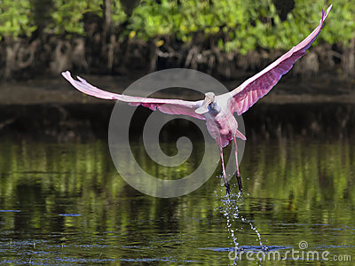 Roseate Spoonbill taking off