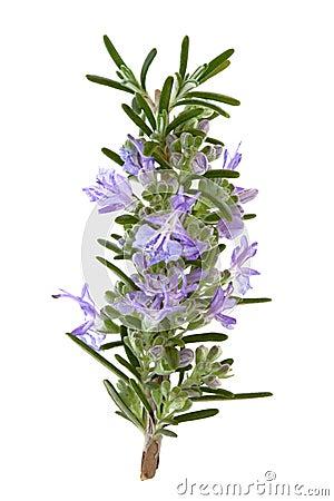Free Rosemary Herb Flowers Stock Photos - 16475673