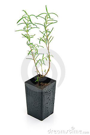 Rosemary seedling isolated