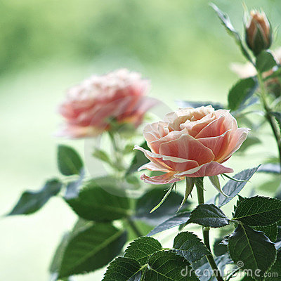 Free Roses Stock Photography - 19071532