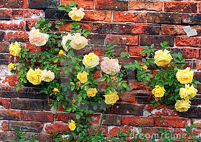 Roses against a wall.