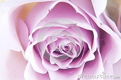 Roses de couleur pastel