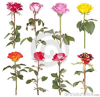 Roses flowers rose flower