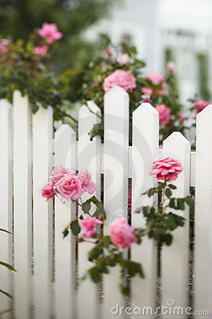 Free Roses Growing Over Picket Fence. Stock Photography - 2038062