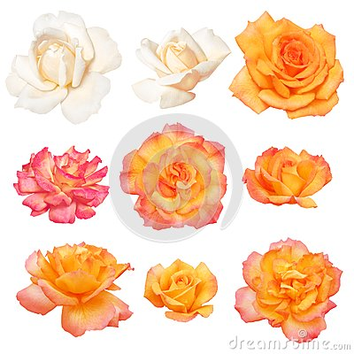 Roses isolated on white background. Vector path!