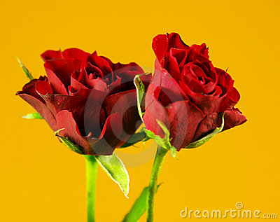 Roses named Black Maddona
