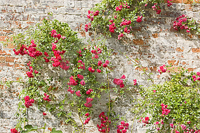 Roses on an old wall