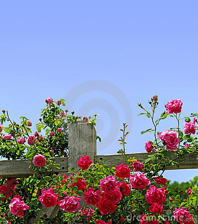 Free Roses On A Fence Stock Images - 5059884