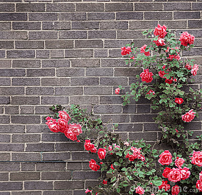 Free Roses On Brick Wall Stock Image - 4531211
