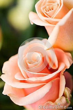 Roses pâles