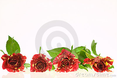 Roses of passion, love and jealousy