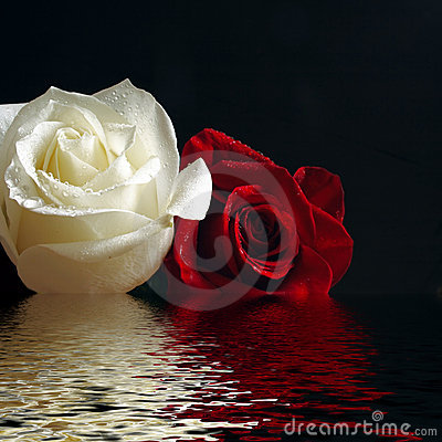 Roses red and white