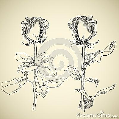 Roses, sketch