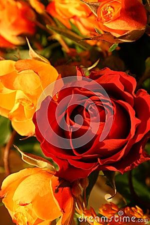 Roses subtiles