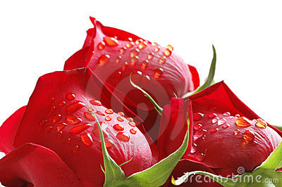 Roses with water  drops isolated  on white