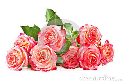 Roses On A White Background. Stock Photography - Image: 24948132