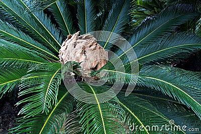 Rosetón japonés de la palma de sagú con la inflorescencia