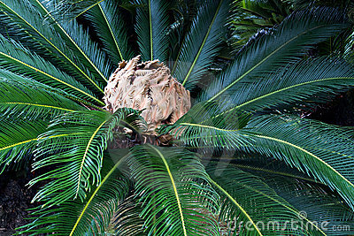 Rosette japonês da palma de sago com inflorescência