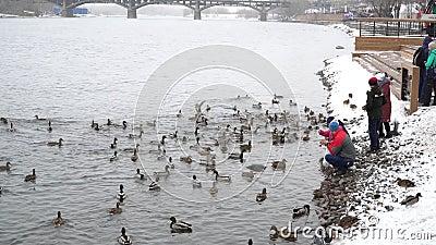 Rosja, Krasnojarsk, 2020 marca:ludzie karmią kaczki na rzece Bank zbiory wideo