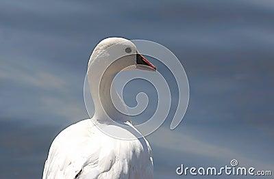Ross s Goose