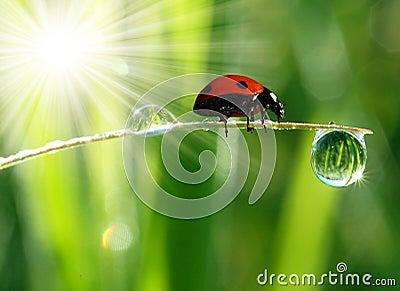 Rosy świeży ladybird ranek