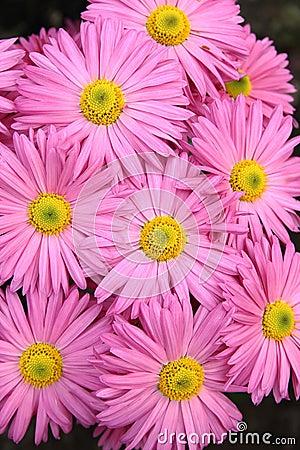 Rosy  chrysanthemum flowers background