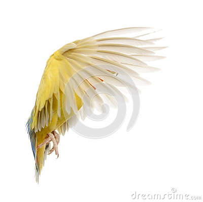 Rosy-faced Lovebird flying