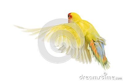 Rosy-faced Lovebird flying